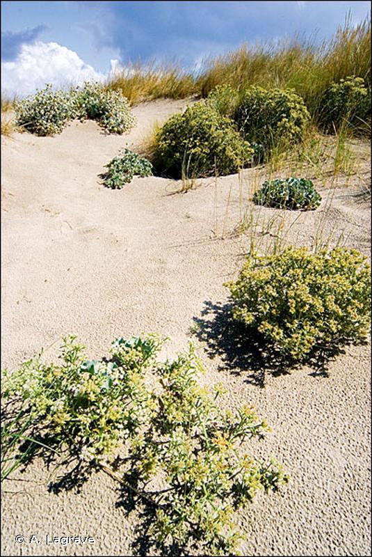 16.2122 - Dunes blanches de la Méditerranée - CORINE biotopes