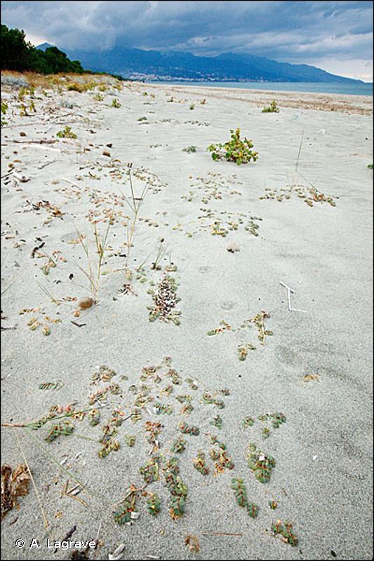 B2.1 - Laisses de mer des plages de galets - EUNIS