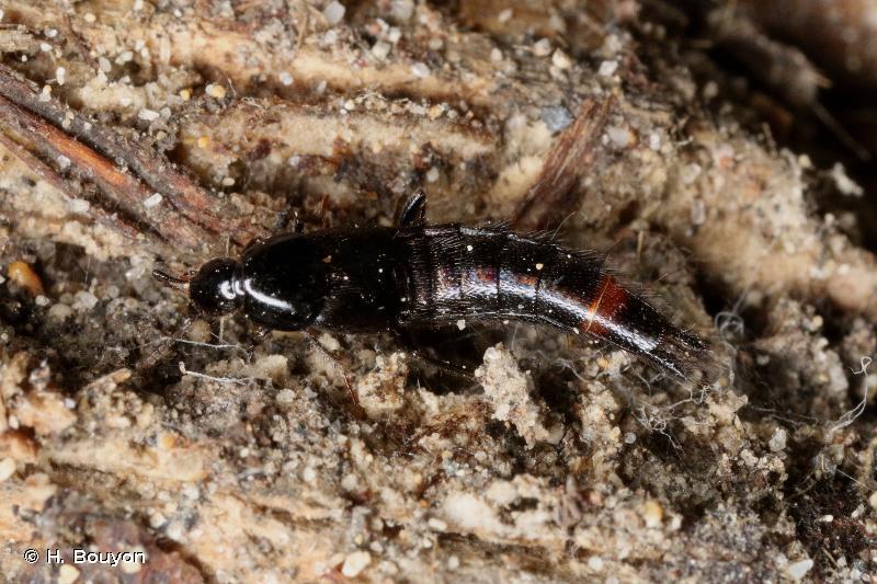 Acylophorus glaberrimus