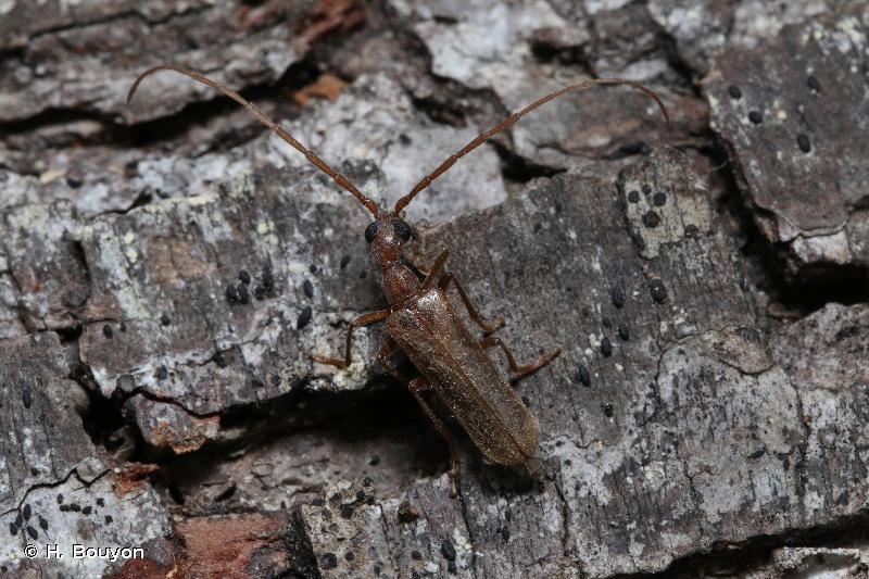Vesperus luridus