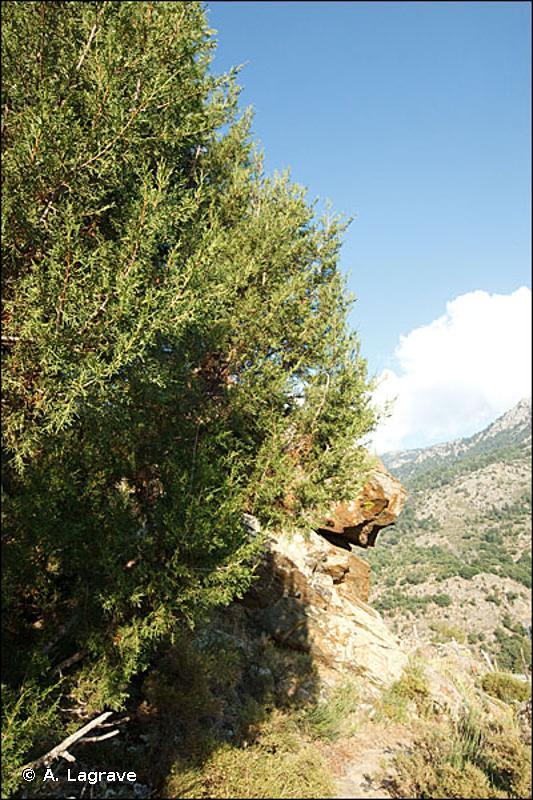 32.136 - Matorral arborescent à Juniperus thurifera - CORINE biotopes