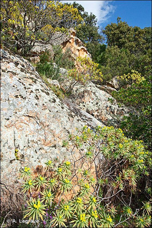 F5.52 - Formations à <em>Euphorbia dendroides</em> - EUNIS