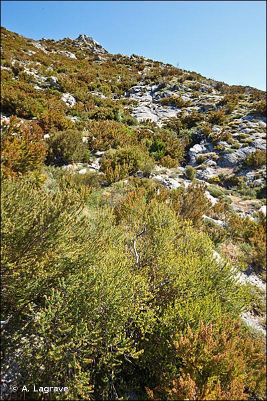 32.32 - Maquis bas à Ericacées - CORINE biotopes