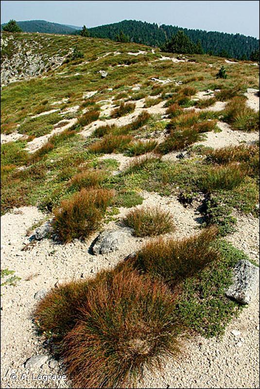 36.3 - Pelouses acidiphiles alpines et subalpines - CORINE biotopes