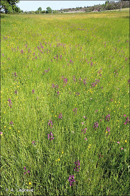 37.22 - Prairies à Jonc acutiflore - CORINE biotopes