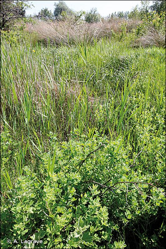 E3.1 - Prairies humides hautes méditerranéennes - EUNIS