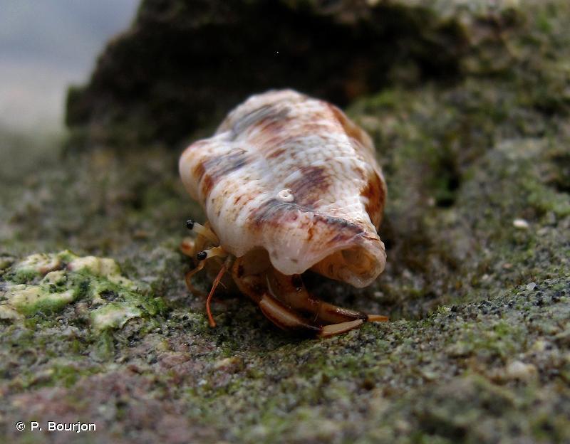 Clibanarius humilis