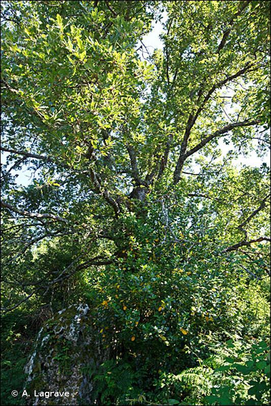 G1.72 - Chênaies à <em>Quercus pubescens</em> cyrno-sardes - EUNIS