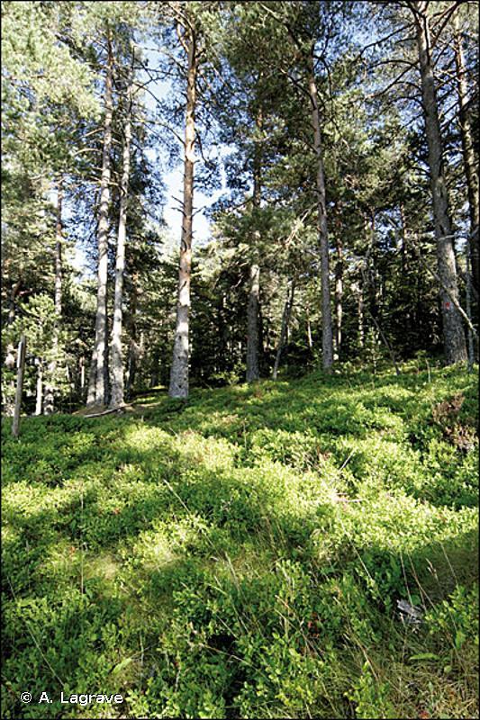 42.424 - Forêts de Pins de montagne des soulanes pyrénéennes - CORINE biotopes