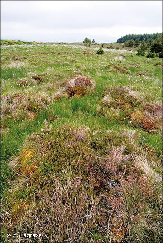 51.1131 - Buttes à buissons de Callune prostrée - CORINE biotopes