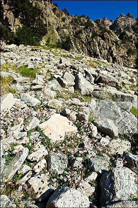 61.1 - Eboulis siliceux alpins et nordiques - CORINE biotopes