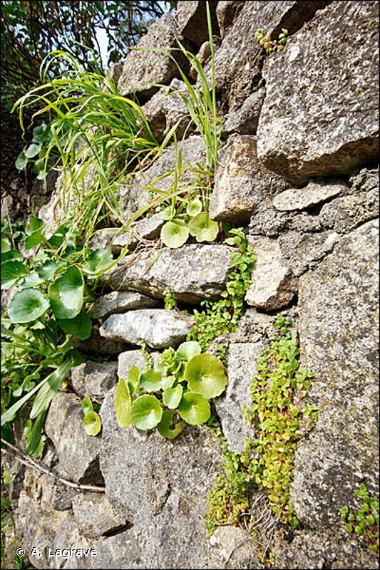 8210-1 - Falaises calcaires méditerranéennes thermophiles - Cahiers d'habitats