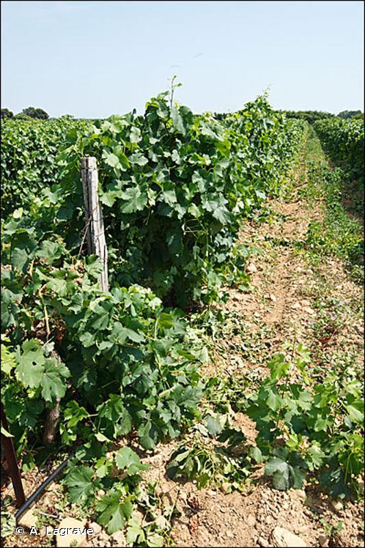 83.212 - Vignobles intensifs - CORINE biotopes