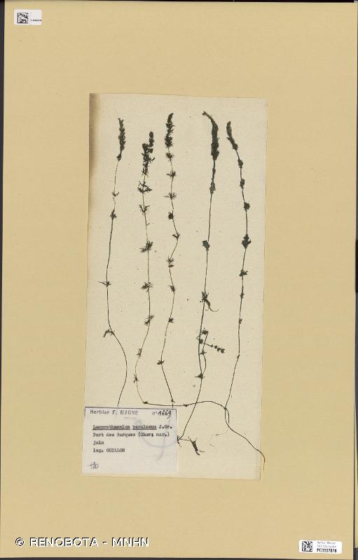 Lamprothamnium papulosum