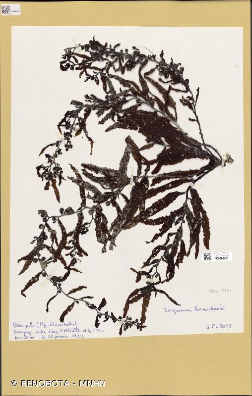 Sargassum hornschuchii