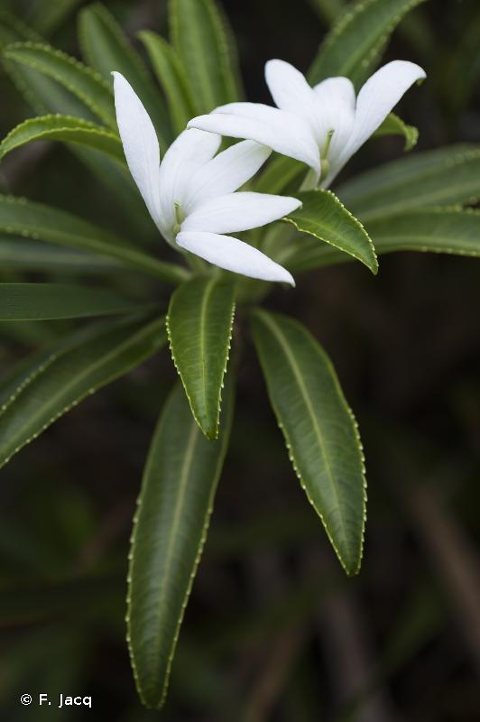 Sclerotheca raiateensis