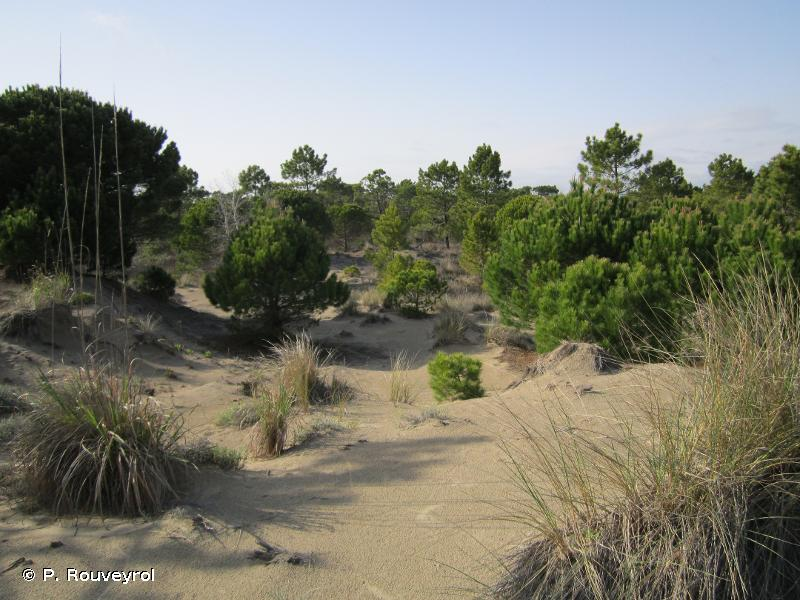 2270 - Dunes avec forêts à <em>Pinus pinea</em> et/ou <em>Pinus pinaster</em> - Habitats d'intérêt communautaire