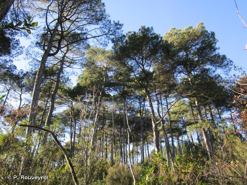 9530-1 - Pinèdes (sub-)méditerranéennes de pins noirs endémiques : Pin de Salzmann - Cahiers d'habitats