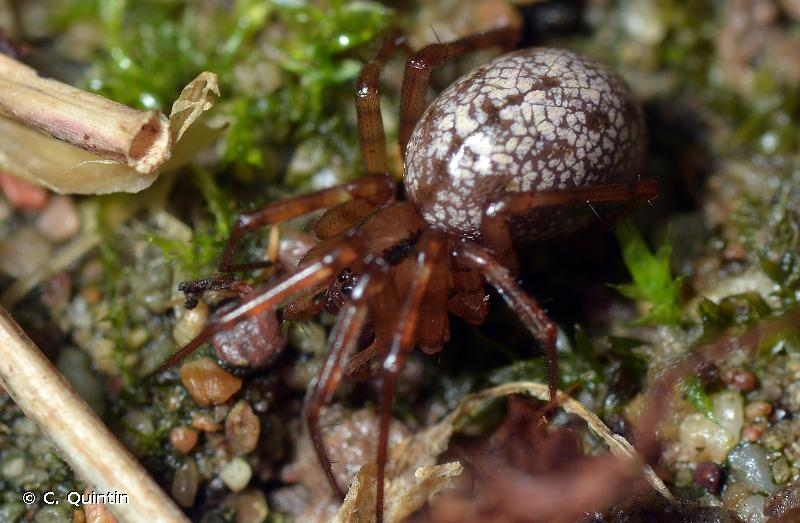 Stemonyphantes lineatus