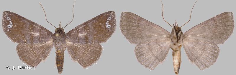 Agyra squamivaria
