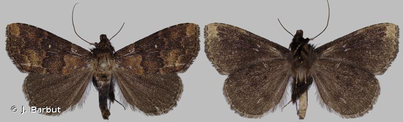 Arugisa rubiginosa