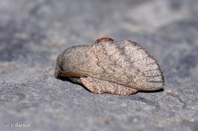 Phyllodesma suberifolium