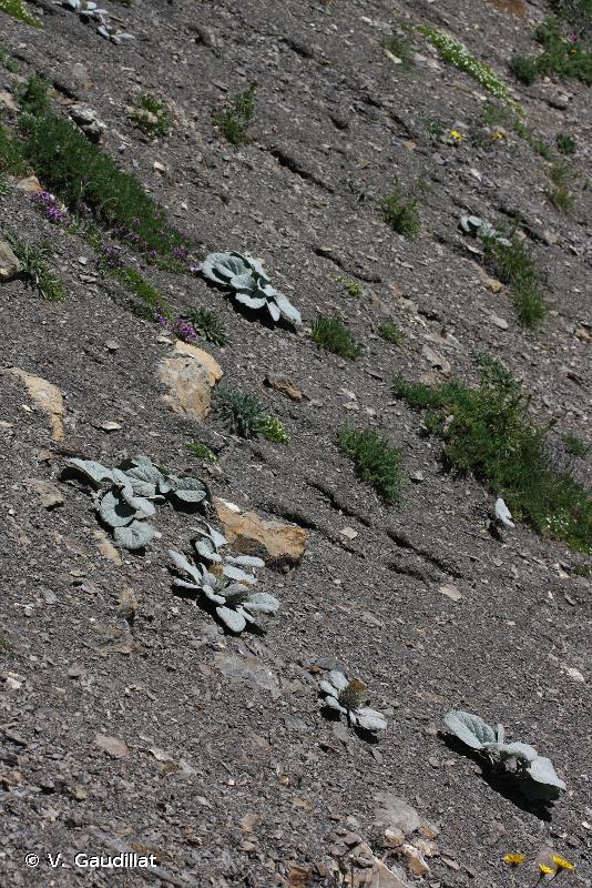 8120 - Éboulis calcaires et de schistes calcaires des étages montagnard à alpin (<em>Thlaspietea rotundifolii</em>) - Habitats d'intérêt communautaire