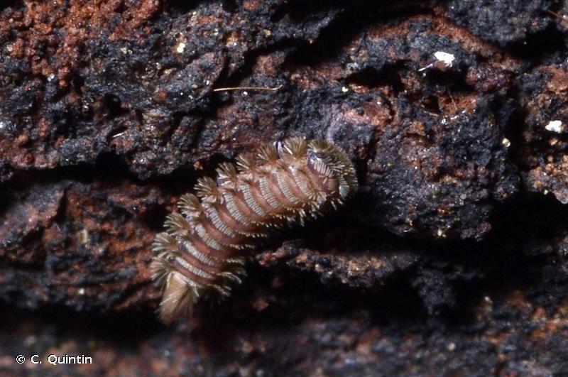 Polyxenus lagurus