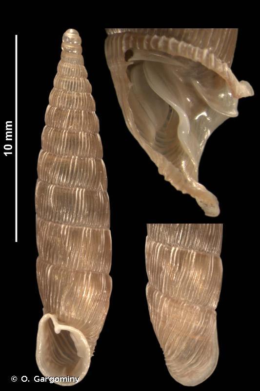 Laciniaria plicata