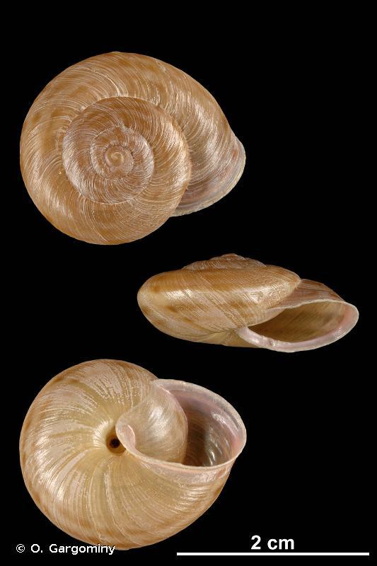 Macularia saintivesi