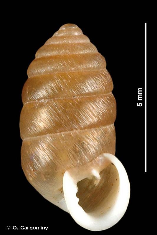 Orcula dolium