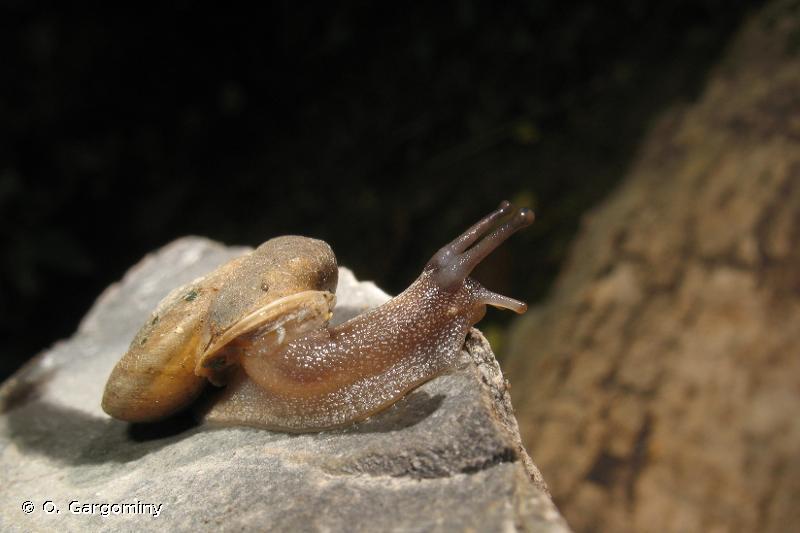 Corneola crombezi
