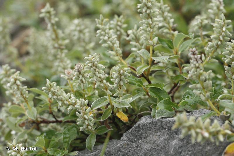 Salix pyrenaica