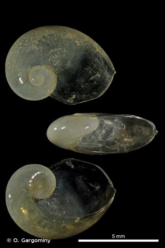 Eucobresia glacialis