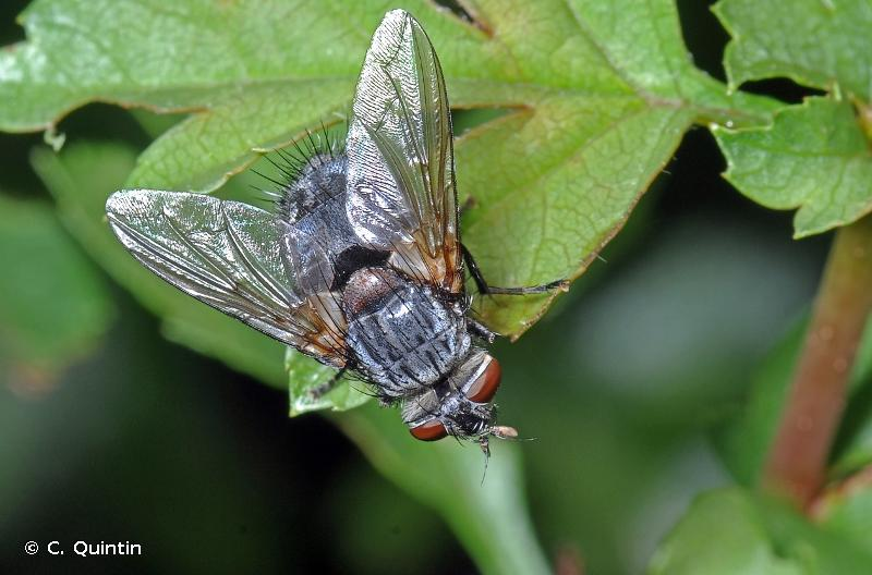 Blepharipa pratensis