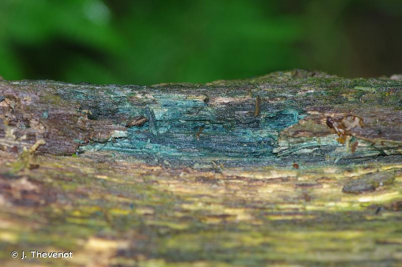 Chlorociboria aeruginosa