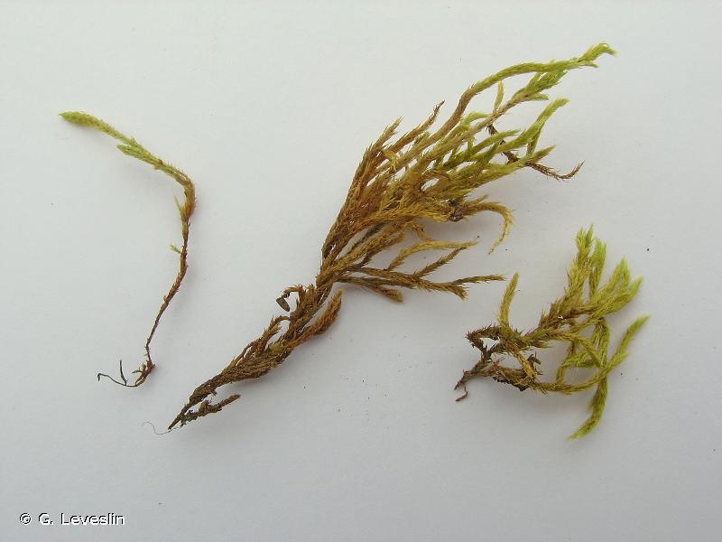 Homalothecium lutescens