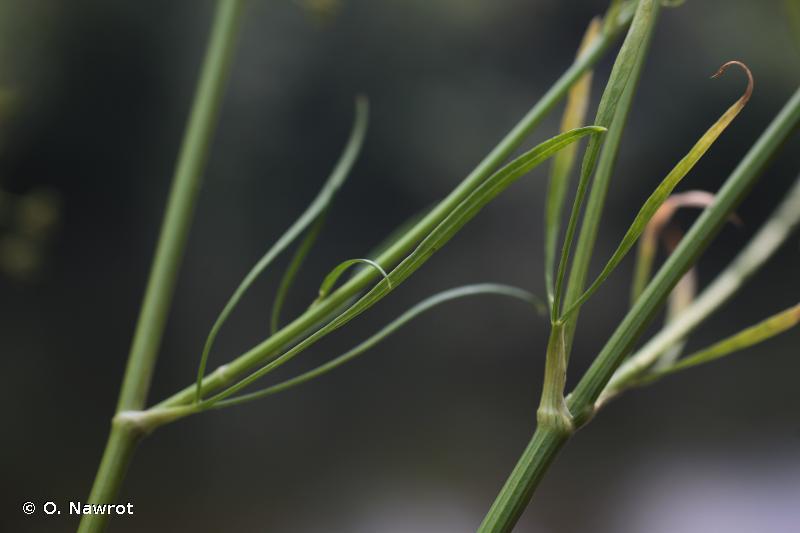 Petroselinum crispum
