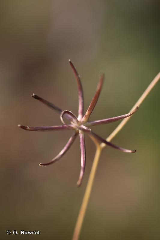 Rhagadiolus stellatus