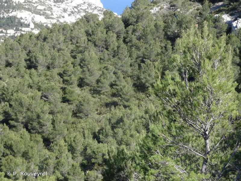 9540-3.3 - Peuplements littoraux de Pin d'Alep et genévriers de Phénicie sur sables ou rochers - Cahiers d'habitats