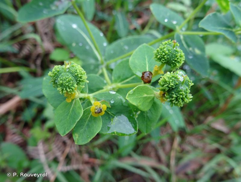 Euphorbia hyberna