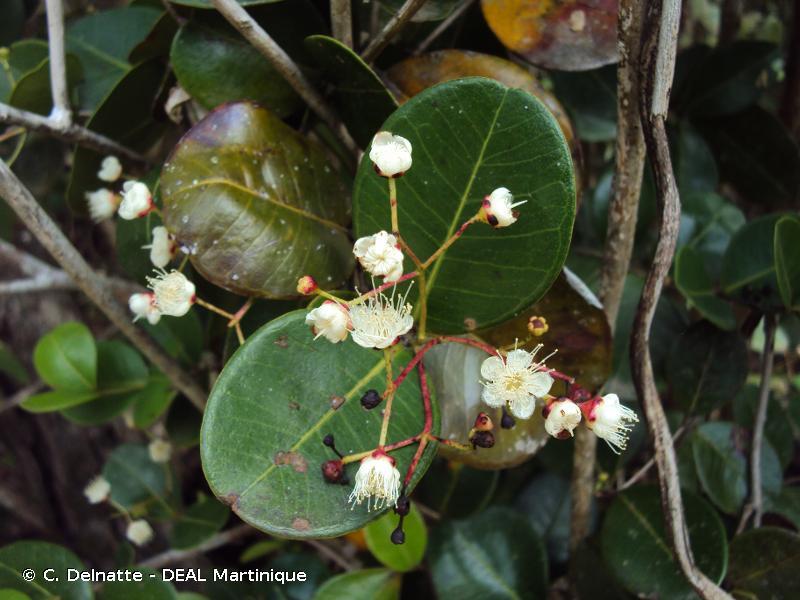 Myrsine citrifolia