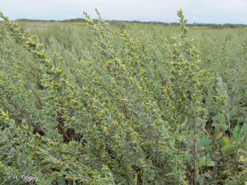 Artemisia maritima