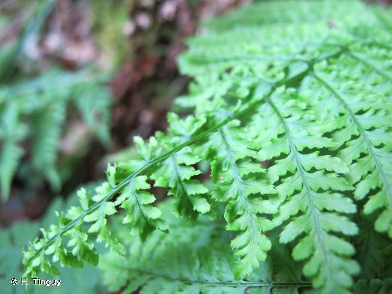 Dryopteris aemula