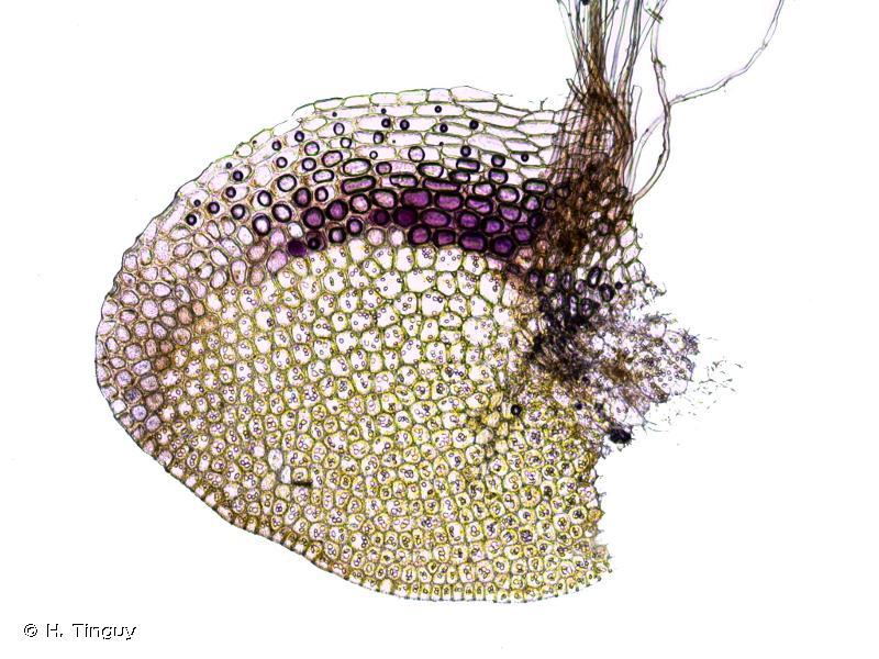 Gongylanthus ericetorum