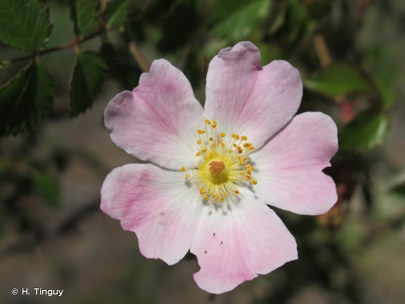 Rosa pouzinii