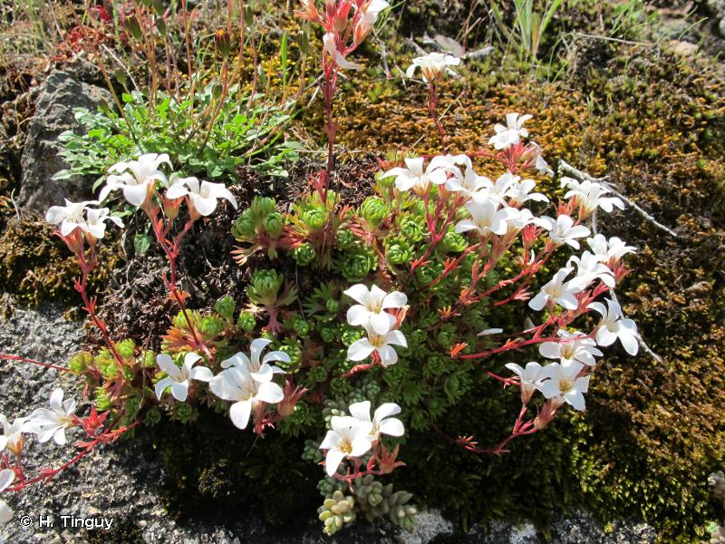 Saxifraga cervicornis