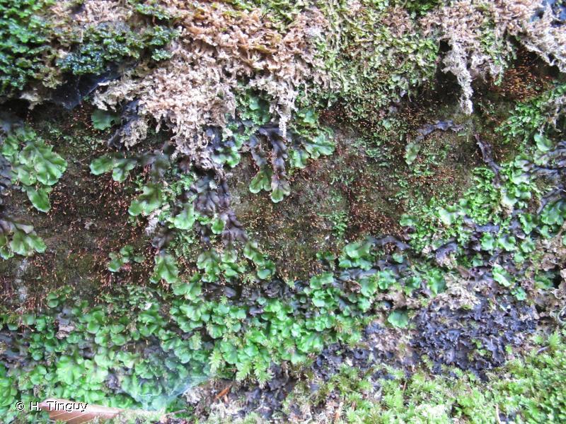 Tetrodontium brownianum