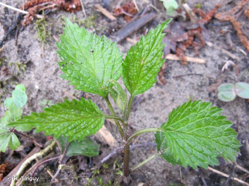 Lamium galeobdolon subsp. montanum