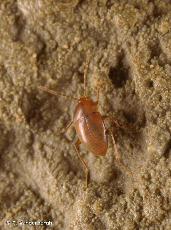 Speonomus longicornis